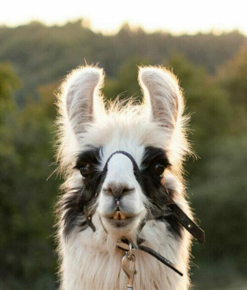 Lama Porträt schaut in die Kamera in der Natur