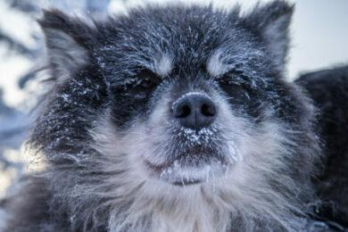Mit Huskies durch Lappland reisen