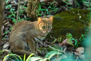 Katzenbeobachtung in Indien