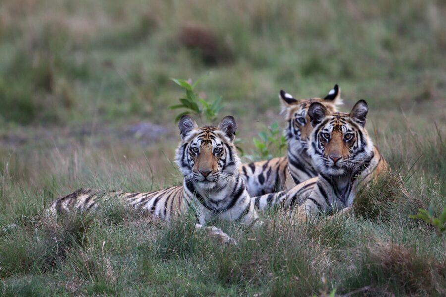 Auf Pirsch und Safari Tiger in Indien entdecken